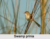 Swamp Prinia, Indian Bird