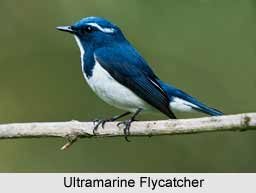 Ultramarine Flycatcher, Indian Bird