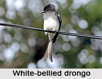 White-Bellied Drongo, Indian Bird