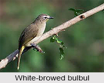 White-Browed Bulbul, Indian Bird