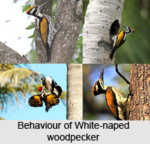 White-Naped Woodpecker, Indian Bird
