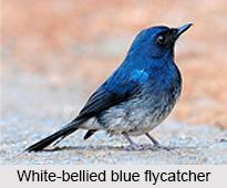 White-Bellied Blue Flycatcher, Indian Bird