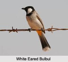 White-Eared Bulbul, Indian Bird