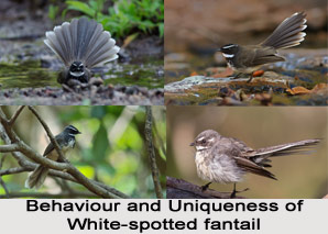 White-Spotted Fantail, Indian Bird