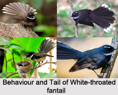 White-Throated Fantail, Indian Bird