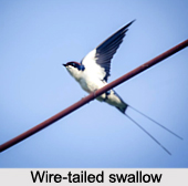 Wire-Tailed Swallow, Indian Bird