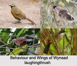 Wynaad Laughingthrush, Indian Bird