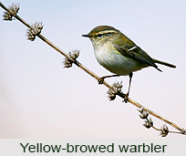 Yellow-Browed Warbler, Indian Bird