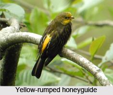 Yellow-Rumped Honeyguide, Indian Bird